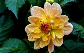 Preview wallpaper Yellow dahlia, petals, water drops