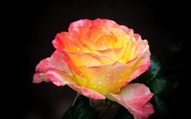 Pétalos de rosas amarillas, gotas de agua