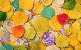 Желтая, красная, фиолетовая, лиственная тополя, разноцветная