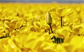 Preview wallpaper Yellow tulips blooms, petals macro photography