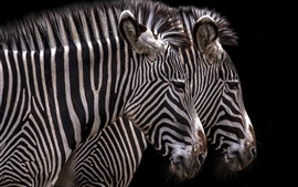 Preview wallpaper Zebra, stripes, black background