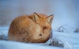 Лисица отдыхает в снегу, зима