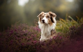 Preview wallpaper Australian shepherd, dog, bokeh