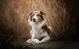 Pastor australiano, cão, descanso, juncos