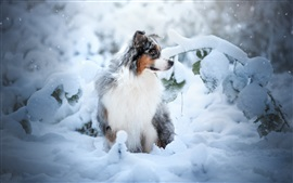 Australian shepherd dog, snow, winter
