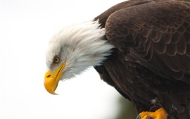 Preview wallpaper Bald eagle, wildlife, beak, eye, white background