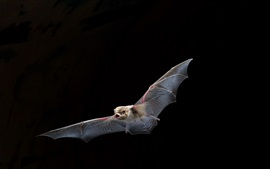 Preview wallpaper Bat flying, wings, black background
