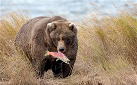 Медведь поймать рыбу, траву