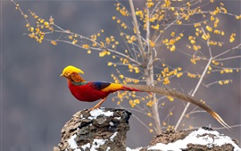Preview wallpaper Beautiful pheasant, long tail, trees