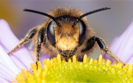 Preview wallpaper Bee macro view, eyes, antennae, daisy