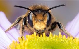 Bee macro view, eyes, antennae, daisy
