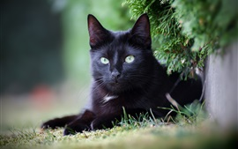 Olhar de gato preto, descanso, galhos