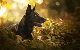 Black dog, face, leaves, bokeh