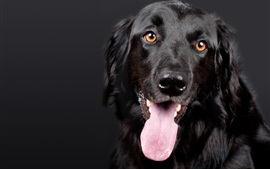 Preview wallpaper Black dog front view, eyes, tongue