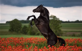 Preview wallpaper Black horse jump, poppy flowers