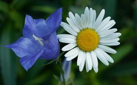Campana azul y Margarita blanca