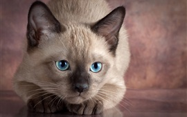 Blue eyes cat front view, gray