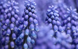 Preview wallpaper Blue flowers, hyacinth macro photography