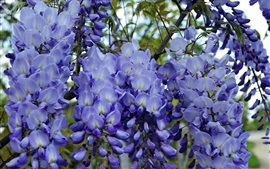 Blue wisteria flowers, flowering, spring