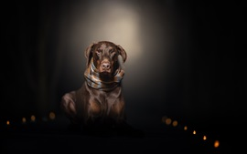 Preview wallpaper Brown dog, scarf, darkness