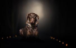 Cachorro marrom, cachecol, escuridão