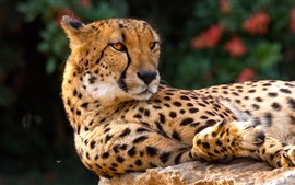 Cheetah, rest, look back, wild cat