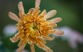Chrysanthemum, yellow petals, macro photography