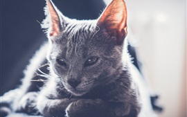 Cute gray kitten, backlight