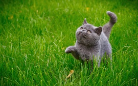 Симпатичный серый котенок, трава
