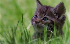Aperçu fond d'écran Chaton mignon dans l'herbe, le visage, poilu