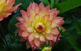 Preview wallpaper Dahlia, pink-yellow petals, water drops