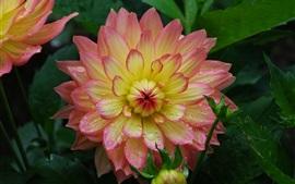 미리보기 배경 화면 달리아, 핑크 - 옐로우 꽃잎, 물방울