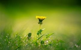 Dandelion yellow flower, green grass, spring