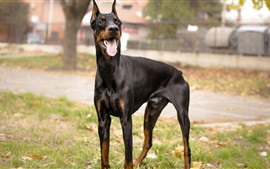 Dog, doberman