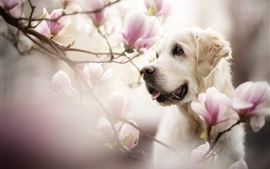 Preview wallpaper Dog face, magnolia flowers, bokeh