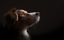 Preview wallpaper Dog look up, black background