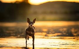 Perro caminar en el agua, al atardecer