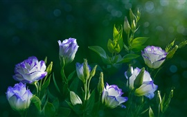 Preview wallpaper Eustoma flowers, green leaves, water drops