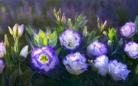 Preview wallpaper Eustoma, purple white petals, flowers, water drops
