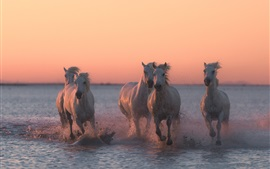 Five horses running in the water, dusk