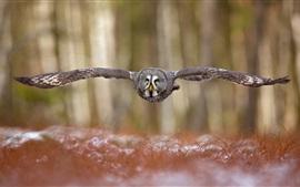 Floresta, voando de coruja, asas, vista frontal