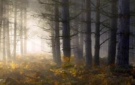 Floresta, árvores, samambaia, nevoeiro, manhã