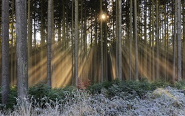 Floresta, árvores, geada, raios de sol, inverno