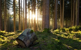 Forest, trees, moss, sunshine, morning