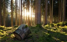Bosque, árboles, musgo, sol, mañana