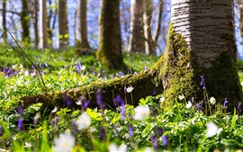 Forest, wildflowers, trees, moss