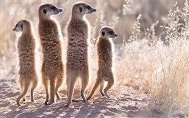 Preview wallpaper Four meerkats, family, grass