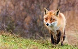 Caminhada de raposa, grama, vista frontal