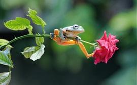 Лягушка и розовая роза