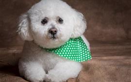 Perro blanco peludo, cachorro